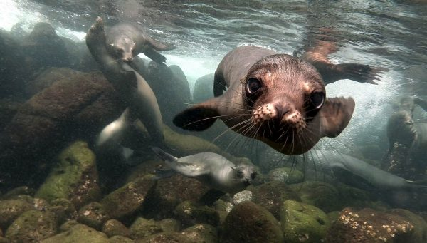 Dream Incentive Destination: Galapagos Island Curious Sea Lion Underwater | Element - The Prize & Incentive People